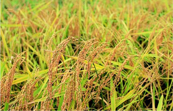 福井産のお米