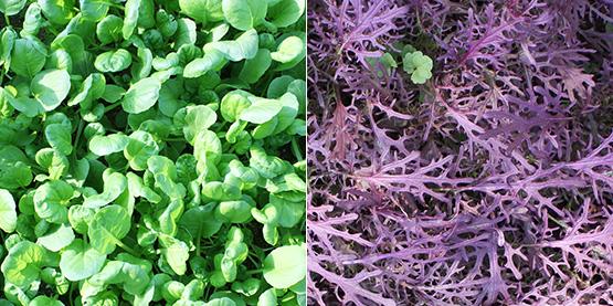 ベビーリーフ緑(左)ベビーリーフ紫(右)